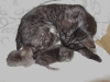 egyptian mau kittens silver & smoke