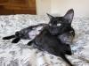 egyptian mau kittens silver & smoke