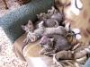 Egyptian Mau kittens 01.06.2011