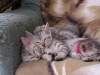 Chatons Mau Egyptien 01.06.2011