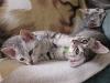 Eli-Ora\'s kittens 02.06.2011