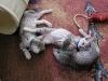 Egyptian Mau kittens 05.06.2011