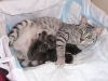Kittens-Portee, Eli-Ora of Amiel-Goshen 07.04.2011