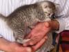chatons Mau Egyptien Silver à un peu plus d'un mois
