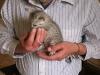 chatons Mau Egyptien Silver à un peu plus d\'un mois