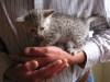 Egyptian Mau Kitten silver at 1 month +