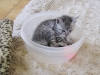 Egyptian Mau Silver kitten at 5 weeks