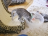 Chatons mau Egyptien Silver à 5 semaines