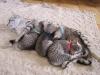 Eli-Ora of Amiel-Goshen & her kittens