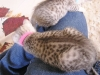 EGyptian Mau Female Kitten