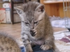 Egyptian Mau silver Litter on 17.05.2011