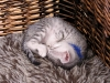 Egyptian Mau Silver Boys/girls at 6 weeks