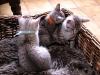 Male et Femelle Mau Egyptien à 6 semaines