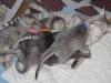 portee de mau egyptien silver le 21.05.2011