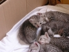 the 5 kittens of Eli-Ora of Amiel Goshen 25.04.2011
