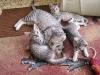 portée de Mau Egyptien le 25.05.2011