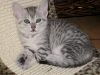Egyptian Mau silver Litter on 21.05.2011