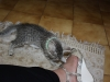 Egyptian Mau litter on the 25.05.201155