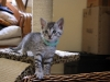 Egyptian Mau litter on the 25.05.2011