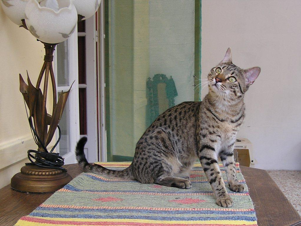 Bronze Egyptian Mau male entire