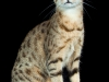 Egyptian Mau Bronze IC Maunarch Florina of Amiel-Goshen