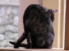 Egyptian Mau Black Smoke (Adina)