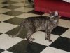 Egyptian mau Black Smoke(Adina)