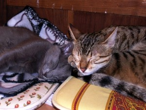Faithful and Florina of Amiel-Goshen (Egyptian Mau and Nebelung)