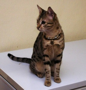 Egyptian Mau Bronze known as Baby Flo