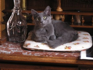 Nebelung cat Faithful of Amiel-Goshen