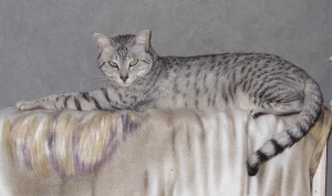 Egyptian MAu Silver Female