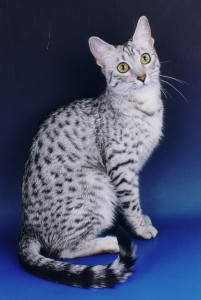 Egyptian Mau Newkingdom Tamyt – daughter of Mihos