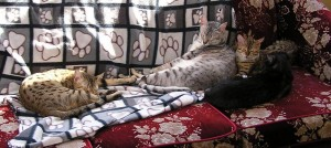 Egyptian mau silver (neutered)