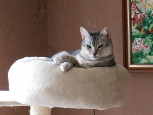 Egyptian Mau Silver (male)