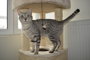 Egyptian Mau Silver (female)