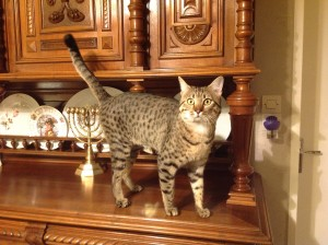 Egyptian Mau Bronze (male)