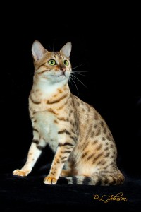 Egyptian Mau Bronze parents, IC. Maunarch Florina & Chantina Jacob